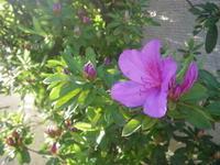 ツツジが咲きました 5/2 - つくしんぼ日記 ~徒然編~