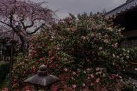 地藏院の桜と椿(再訪) - 鏡花水月