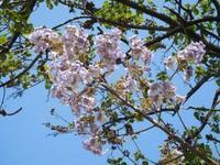 桐の花とナンジャモンジャ - うまこの天袋