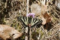 スミレ吸蜜から交尾、産卵と・・・ヒメギフを堪能 - 蝶超天国