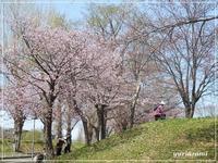 いつもの公園の桜 - はあと・ドキドキ・らいふ