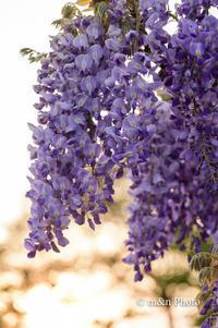 藤の花 - 季節のおくりもの