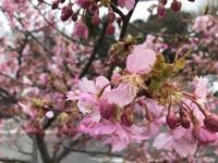今年は、大好きな桜をみると泣けました!その理由は? - 仙台・お薬を減らしたいママへ おすすめ 自然療法ホメオパシー25年看護師をする佐々木友美のアドバイス~心ゆるゆる処みくう