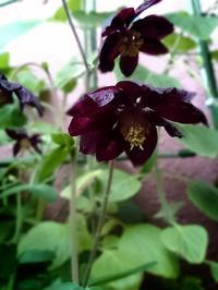 見応えある二番花。ブラックバロー実生株 - 花暮らしの記