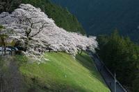 浜松市天竜区 桜  Apr. 2017  #004 - hama-take の blog