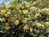 モッコウバラ・ライラック満開 - つれづれなるままに・・・ふくろうみーの庭