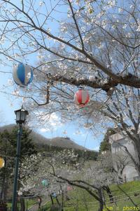 青空に映える桜の函館公園 - I shall be released