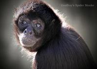 ジェフロイクモザル:Geoffroy's Spider Monkey - 動物園の住人たち写真展