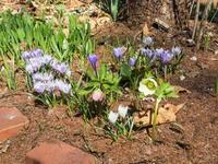 カンタベリーのガーデン・春の花が一気に咲き始めました。 - 十勝・中札内村「森の中の日記」~café&宿カンタベリー~