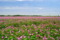レンゲ草 - 小さな風景への想い