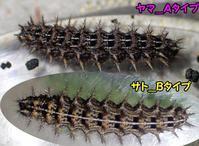 ヤマ・サトウラギンヒョウモン?幼虫比較 - 秩父の蝶