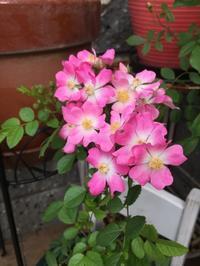 今日のお花たち - チープガーデンの花々