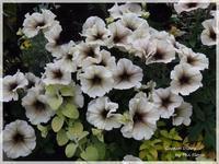 Petunia - Garden Diary