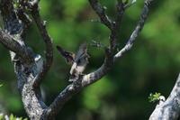 モズの子育て3 トカゲを丸呑み - 気まぐれ野鳥写真