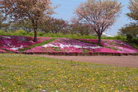 芝桜と八重桜と蒲公英 - 新幹線の写真