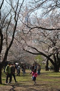 新宿御苑の桜 2017 - at-blog*