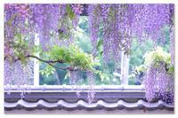 さらさらの藤カーテン。 - Yuruyuru Photograph