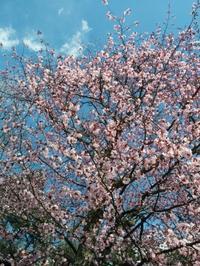桜満開の軽井沢(^^) - aile公式ブログ