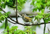 春を満喫 - ひげ親爺の探鳥日記