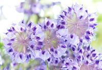 いとしと書いて藤の花 - アイソメ寫眞館