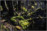 苔むす森 - コバチャンのBLOG