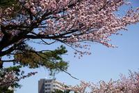 桜咲く - お茶にしませんか
