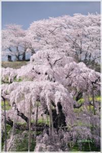 TAKIZAKURA / 三春の滝桜 - 花鳥風猫ワン