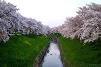 Sakura2017 *06 / 佐保川の桜 - noBBy's *PhotoLabo*