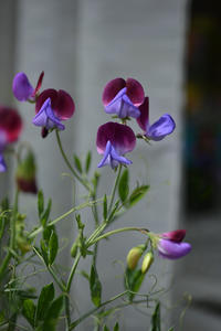 ブログ再開と、わが庭♪ - HANA 花♪日記