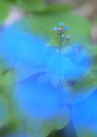 青色に包まれて - 花散歩写真 in Vancouver