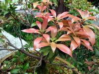 アセビの花ガラ取り - リリ子の一坪ガーデン