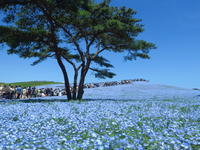 GWは花を見に<1> 国営ひたち海浜公園のネモフィラとチューリップ - ニッキーののんびり気まま暮らし