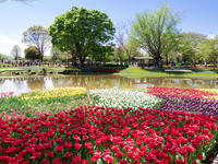 チューリップ ~昭和記念公園~ - 幡ヶ谷写真部 ~幡ヶ谷司法書士事務所の写真ブログ~
