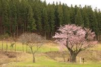1144 遠野の桜 2017 (1) - 四季彩空間遠野