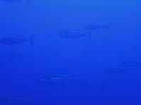 5月3日 西崎、魚祭り! - YDSブログ