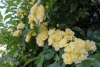 木香薔薇 - 季節のおくりもの