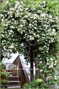 モッコウバラが沢山咲きました♪ - 小さな庭 2