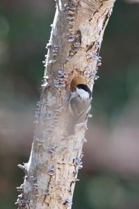 高原のコガラ - うちのまわりの自然新聞