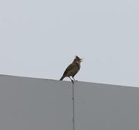 今日の鳥さん 170501 - 万願寺通信