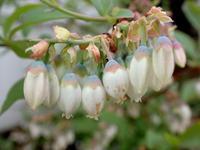ブルーベリーの花咲く頃・・・ - 自然がいっぱい3