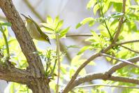 桜にメジロ - Bird-Watching Journal