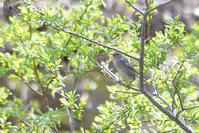 やっと会えたウグイス - Bird-Watching Journal