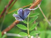 ツバメシジミ青い雌 - 風任せ自由人