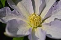 クレマチスも咲き出しました - 玉家の生存報告