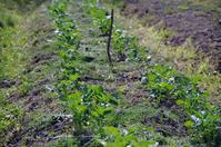 ジャガイモの芽と告知 - 良え畝のブログ