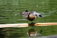 シマアジを求めて - ずっこけ鳥撮り日記