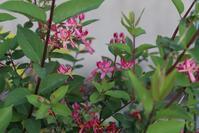 ヒョウタンボク、チョウジソウ、カザグルマ等と小品盆栽 - 団塊夫婦・山野草に魅せられて