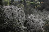 さくらの風景 - Aruku