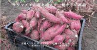  参加者募集! サツマイモの苗を植えて、収穫の準備 - せんだいイーストキッチン通信