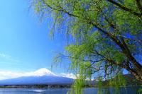 29年4月の富士(39) 柳と富士  - 富士への散歩道 ~撮影記~